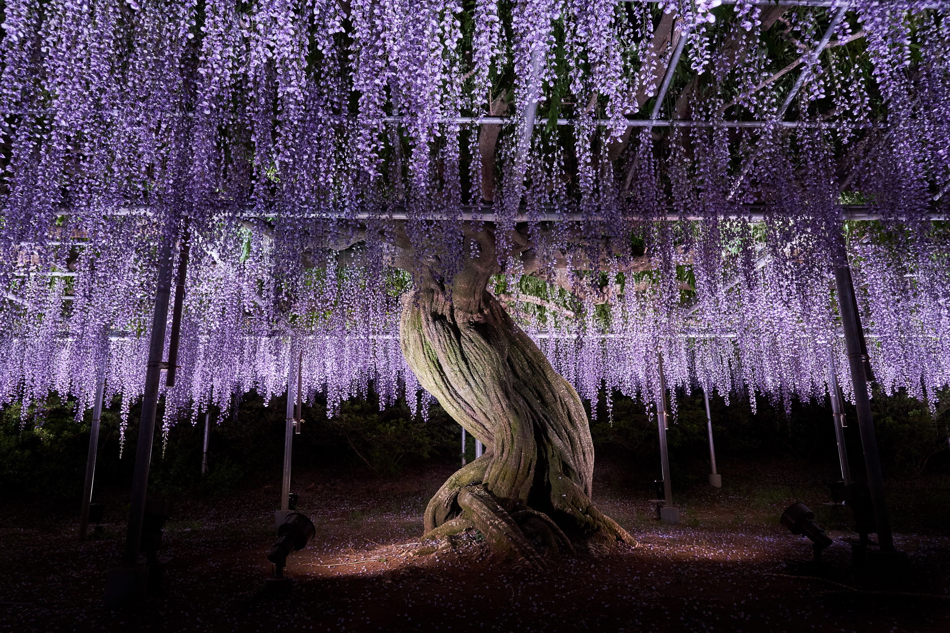 Beauty Wisteria